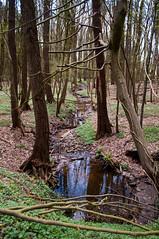 Spring in the beech forest #4 (Maxi Winter) Tags: beechtrees buchenwald wald forest forêt bach creek stream trees arbres bäume buchen beeches hêtres forêtdehêtre ruisseau water eau wasser anemonenemorosa buschwindröschen wood
