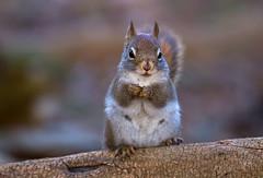 Playing cute (JD~PHOTOGRAPHY) Tags: squirrel greysquirrel wildlife wild animal wildanimal nature canon canon6d northamericanwildlife