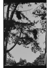 P42-2017-022 (lianefinch) Tags: argentic argentique monochrome noirblanc noiretblanc blackandwhite blackwhite bw bruxelles brussels belgium belgique belgïe parc arbres nids trees