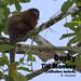 Dusky Titi Monkey, Callicebus moloch