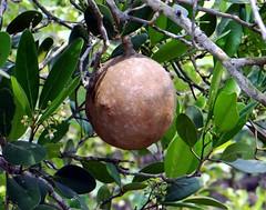 CANNONBALL MANGROVE  (Bangla = ধুঁদুল ) (3Point141) Tags: 3point141 fruit thesundarbans mangrove south24parganas westbengal india dhundul cannonballmangrove dobankicamp bidyariver sundarbantigerreserve royalbengaltiger sher baagh