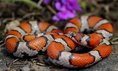 Red Milk Snake (Lampropeltis triangulum syspila) (2ndPeter) Tags: red milk snake lampropeltis triangulum syspila serpent scales bright flower ozark ozarks missouri glade april spring herp herping critter creature animal wild wildlife flickr reptile dolomite rare photography canonrebelt3i peterpaplanus 100mmmacrolens 100mm canon rebel t3i macro