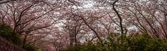 Sakura Fullbloom (Anandmunkh) Tags: sakura cherry cherrybossom fullbloom fukuoka itoshima japan pink