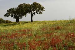 Monte das Vinhas_9c2 (x-lucena) Tags: viúvas alentejo azinheira quercusilex montedasvinhas