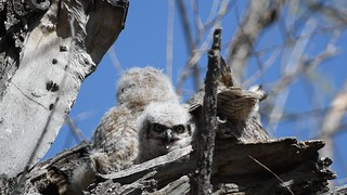 Great Horned Owls Video6