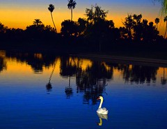 Peace (oybay©) Tags: suncitywest arizona sunset reflection silhouette swan whiteswan bird water waterfeature golfcourse golf course stardustgolfcourse