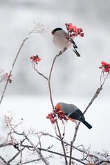 camachuelos, (barragan1941) Tags: aves camachuelomacho cremenes fauna pajaros