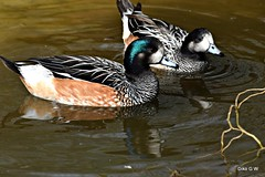 Chiloe Widgeon Pair (Diko G.W.) Tags: bridlington eastyorkshire ducks chiloewidgeon waterfowl nikond3300