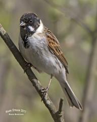 AN9A4662a (Mark Strain.) Tags: reed bunting bird birds animals nature wild wildlife mark strain