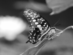 Butterfly (davidntaylor1968) Tags: insect animalthemes animalsinthewild oneanimal closeup nopeople butterflyinsect animalwildlife nature fulllength day outdoors blackandwhite popularphotos photography popular spreadwings beautyinnature