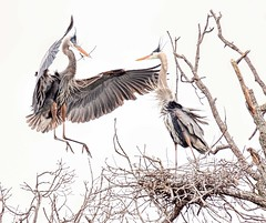 Is That The Best You Could Find, Dear? (Wes Iversen) Tags: ardeaherodias brighton greatblueherons kensingtonmetropark michigan milford tamron150600mm birds digitalart nature nests rookery waterbirds waterfowl wildlife