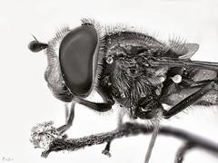 HoverFly (pen3.de) Tags: penf zuiko 60mmmakro tier animal insekt fliege schwebfliege natur wildlife makro details sw bw facettenaugen naturlicht zweig seitlich augen portrait fliegenportrait haarig fühler