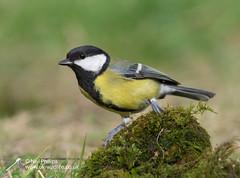 Great tit-2 (Neil Phillips) Tags: aves parusmajor bird greattit tit titmouse