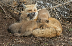 Mama Red Fox with a few of her adorable cubs (ChristinaAnne.M) Tags: redfox fox montreal quebec animals canada wildlife wildlifephotographer wildlifephotography nature nikon naturephotography naturephotographer spring spring2017 outdoors foxcubs cubs foxkits foxpups cute nikond7100 sigma renardrouge