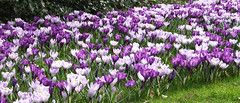 Spring crocuses (EvelienNL) Tags: flowers crocus crocuses spring white purple bloemen krokus krokussen lente wit witte paars paarse