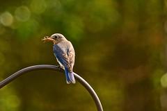 Eastern Bluebird - female (deanrr) Tags: easternbluebird female food feathers bokeh outdoor insect morgancountyalabama alabama 2017 spring parent grasshopper bug nature