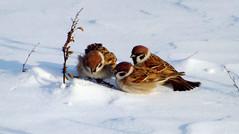 Birds (monica_maria) Tags: bird winter seed snow