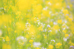 yellow world (20EURO) Tags: spring flower yellow bright warm sunlight season change nature landscape grass blossoms rapeblossoms fun walk weekend holiday 菜の花 canon eos beautiful photograph canoneos5dmarkⅲ
