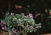Autumn Purple Alyssum (Matthew Huntbach) Tags: purple alyssum
