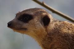 Wenn du Ärger brauchst - ich bin immer für dich da (Frank S (aka Knarfs1)) Tags: erdmännchen zoo zoom gelsenkirchen mamal säugetier tier animal suricata suricatta manguste meerkat stokstaartje