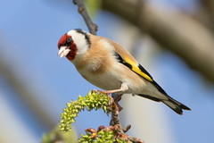 Goldfinch (Happy snappy nature) Tags: goldfinch colourful beautiful plumage nature wildlife shropshire outdoors sunnyday