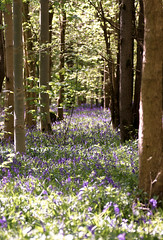 Bluebells (Smudgie01) Tags: bluebell woodland wood ancientwood wildlifetrust nature