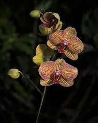 Orchid Sisters (MrBlueSky*) Tags: orchid flower petal plant garden horticulture nature kewgardens royalbotanicgardens london aficionados ngc pentax pentaxart pentaxlife pentaxk1 pentaxawards pentaxflickraward