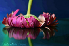 reflection of beauty... (dimitra_milaiou) Tags: flower color colours pink blue green nature reflections world mirror love lovely still life live daisy greece europe nikon d d7100 7100 milaiou dimitra photography art light bright shadows 50mm beautiful magic cut one two 1 2 together ngc f18 water lake sea sky greek hellas δήμητρα μηλαίου ελλάδα λουλούδι
