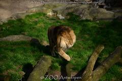 Afrikaanse leeuw - Panthera leo leo - African Lion (MrTDiddy) Tags: afrikaanse leeuw panthera leo african lion nestor big cat bigcat grotekat grote kat feline zoogdier mammal