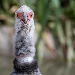 I've Laid 5 Eggs! (helenehoffman) Tags: crestedscreamer aves sandiegozoosafaripark bird chaunatorquata nest southernscreamer southamerica conservationstatusleastconcern animal