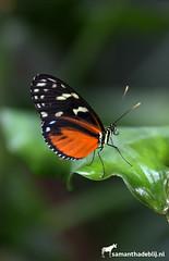 Butterfly (PAPERCUTSKIN) Tags: butterfly insect wings orange animal zoo vlindersaandevliet vlinders aan de vliet