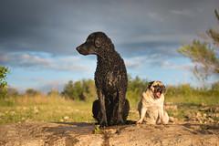 16/52 Nemo Monster (- Una -) Tags: 52weeksfordogs nemo curly curlycoatedretriever ccr retriever curlydog dog animal blackdog blackcurlycoatedretriever texas lake georgetownlake pug