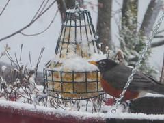 A robin in the snow (yooperann) Tags: robin suet feeder gwinn marquette upper peninsula michigan snow late april