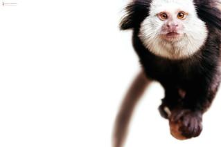 Curiosity | Weißgesicht-Seidenaffe - white-headed marmoset ( Callithrix geoffroyi )