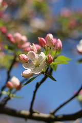 Cheery cherry blossom (Lisa Meadville) Tags: cherryblossoms tree cherry bokah canon eos rebel spring flowers pink bluesky canoneosrebel
