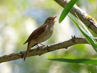 Rossinyol - Ruiseñor común - Common Nightingale - Luscinia megarhynchos