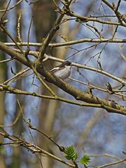 Male Pied Flycatcher......Padley Gorge (Scuba`Steve`) Tags:
