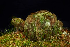 Stumpy the Tortoise..x (just for fun) (Lisa@Lethen) Tags: lichen moss wood stump tree tortoise nature woodland
