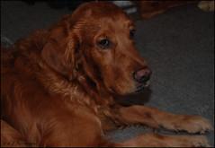Getting Bored (John Neziol) Tags: kjphotography goldenretriever fieldretriever pointynoseddogs dognose interestingdogposes nikon nikondslr nikoncamera pet portrait dog animal