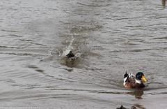 DSC_0504.jpg (Robert Graham YSLK) Tags: swanhill april24 2017 river water waterbirds splash landing ducks