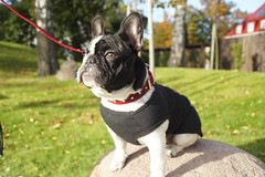 DSC03462 (Anastasia Neto) Tags: cutepuppies dog dogs dogphotography dogmodel cutepuppy dogphotographer petmodel puppies petphotography pets puppy pet petphotographer frenchie frenchies frenchbulldog frenchbulldogs funnydog funnydogs