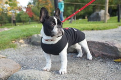 DSC03456 (Anastasia Neto) Tags: cutepuppies dog dogs dogphotography dogmodel cutepuppy dogphotographer petmodel puppies petphotography pets puppy pet petphotographer frenchie frenchies frenchbulldog frenchbulldogs funnydog funnydogs