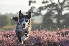 Dog Heather Run (pogmomadra) Tags: dog running heather