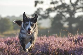 Dog Heather Run