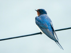 Swallows are back (Howie Mudge LRPS BPE1*) Tags: swallow bird animal nature wildlife photography wings line blue pretty orange outside outdoors supercosina100500mmmacrolens panasonicdmcg80 microfourthirds m43 mft compactsystemcamera mirrorlesscamera vintage classic lens