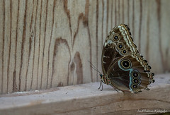 JM foto75-148 (janetankersmit) Tags: 2017 vlinders vlindertuin zutphen