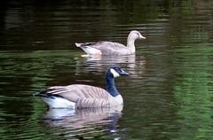 Moresby geese (westietess) Tags: moresbypond birds april