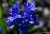 DSC00140 (sergeyudalov) Tags: helios442 гелиос442 58mm f2 closeup крупныйплан nature природа grass трава plants растения blue синий голубой green зелёный depthoffield глубинарезкости bokeh боке blur расплывшиесяочертания гиацинт hyacinthus fullhd 1080p 1920x1080 обоинарабочийстол desktopwallpaper placidity serenity безмятежность freedownload бесплатноскачать free download