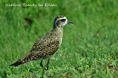 American Golden-Plover (Natural Beauty by Edens) Tags: green bird grass tx fallout shorebird southpadre americangoldenplover