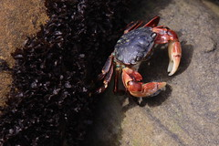 Point Lobos Seashore/crab (LOLO Italiana) Tags: ca beach nature stone landscape sandstone rocks crab pebbles pacificocean kelp carmel abstracts centralcoast seashore pointlobos harborseals